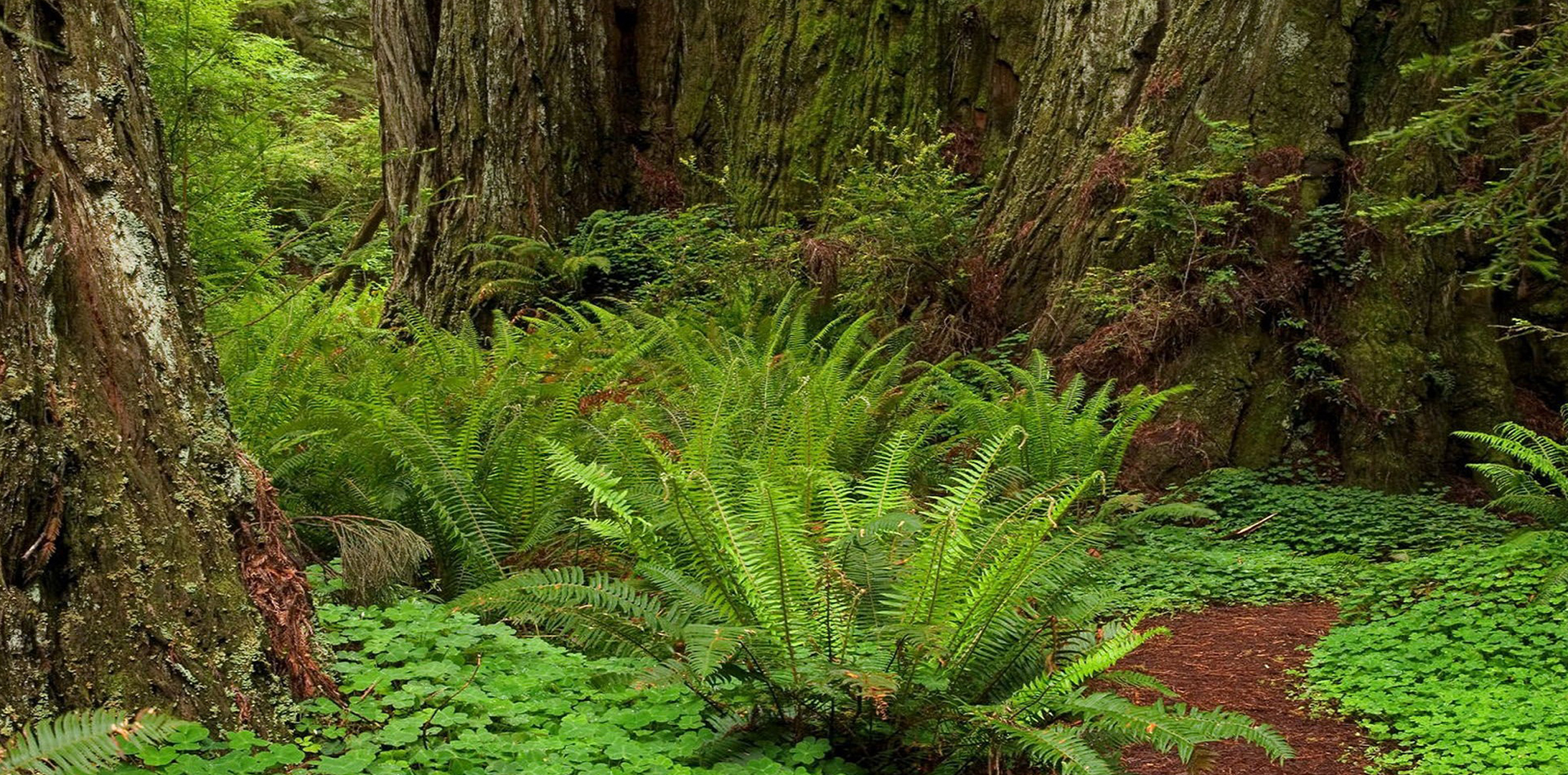 fern-redwoods_web